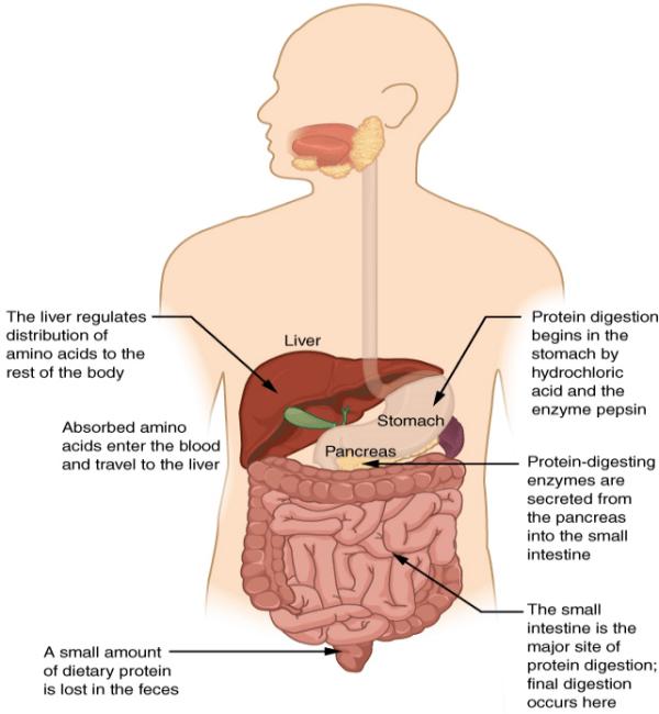 Facilitates_digestion